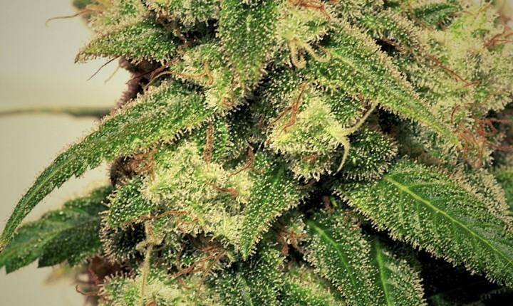 Cheese + (Pepita Seeds) Semilla Feminizada Marihuana 0