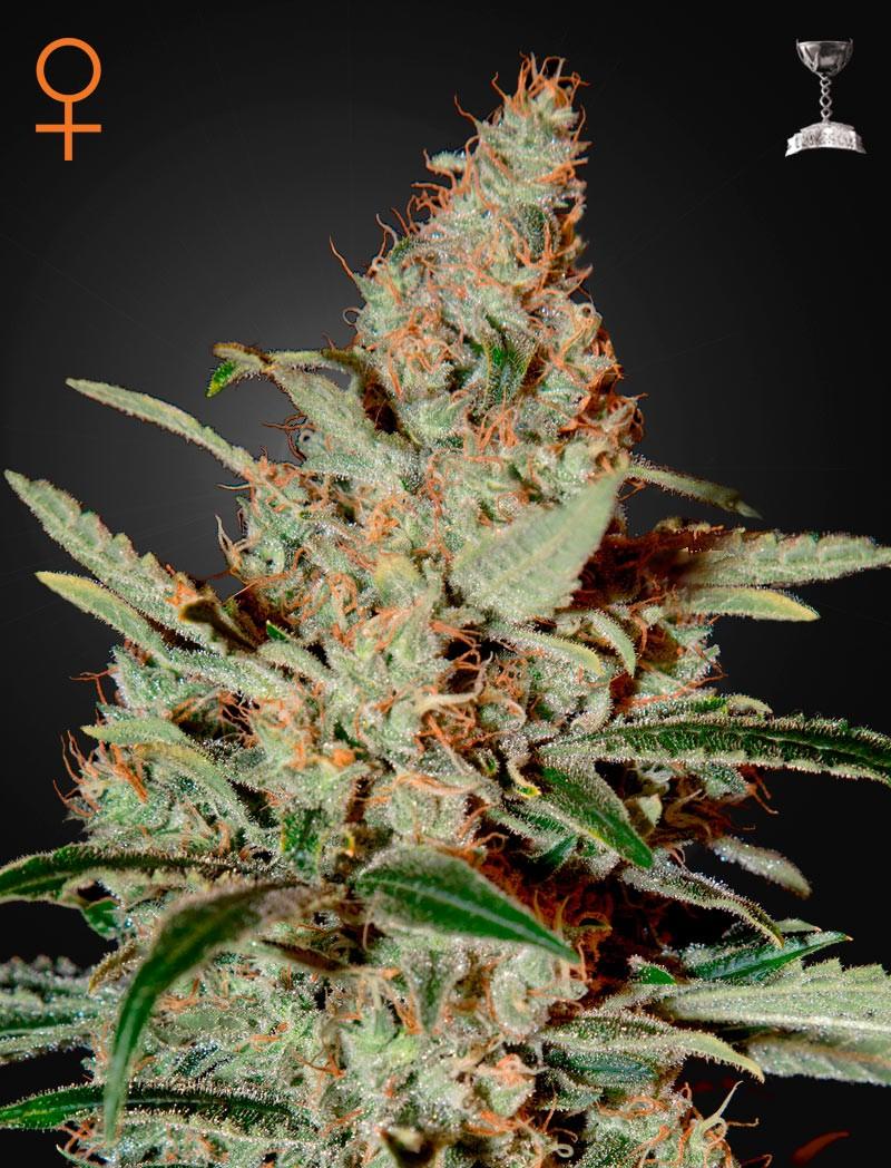 Chemdog (Greeen House Seeds) Semilla Cannabis Feminizada Barata 1