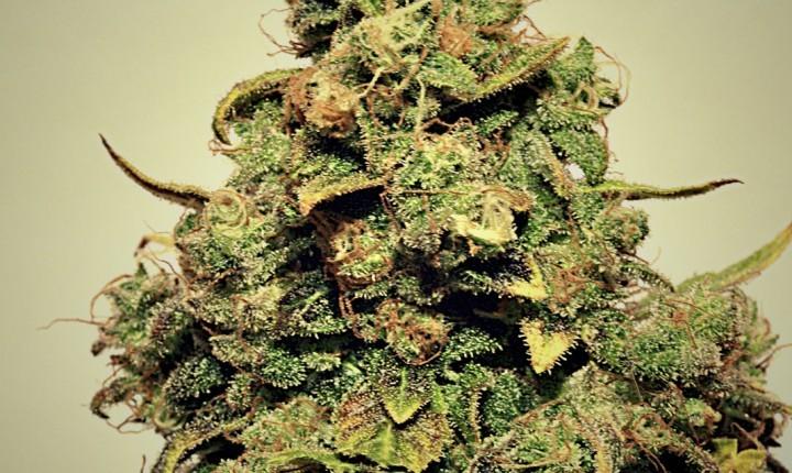 Chemgos (Pepita Seeds)Feminizada Cannabis Semilla Barata 0