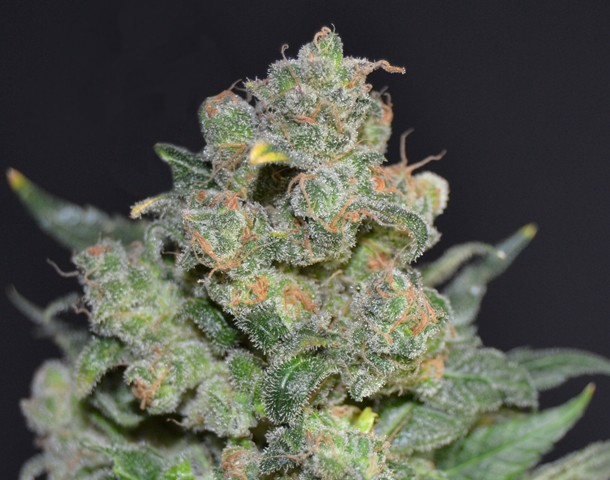 Cheese Feminizada de CBD Seeds Semillas de Cannabis 0
