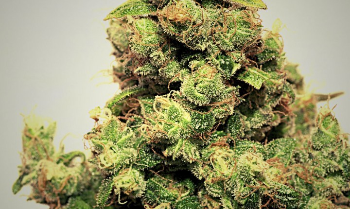 Chewaka (Pepita Seeds) Semilla Feminizada cannabis 0
