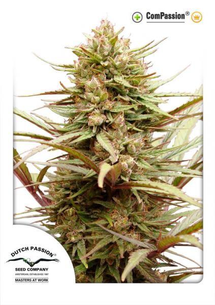 CBD ComPassion (Dutch Passion) Semilla Feminizada de Cannabis 2