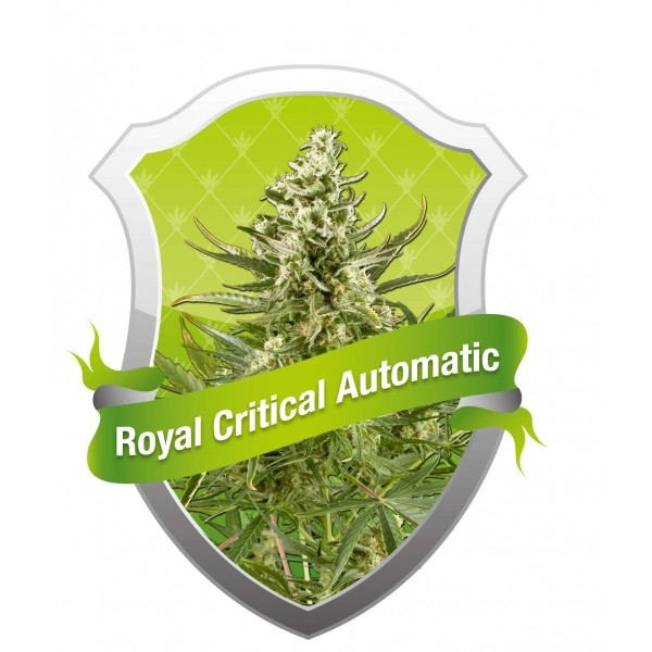 Semilla Royal Critical Automatic (Royal Queen Seeds) Cannabis Autofloreciente Feminizado 0