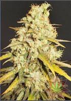 Semilla Critical Super Silver Haze de Delicious Seeds Feminizada 100% Cannabis 0