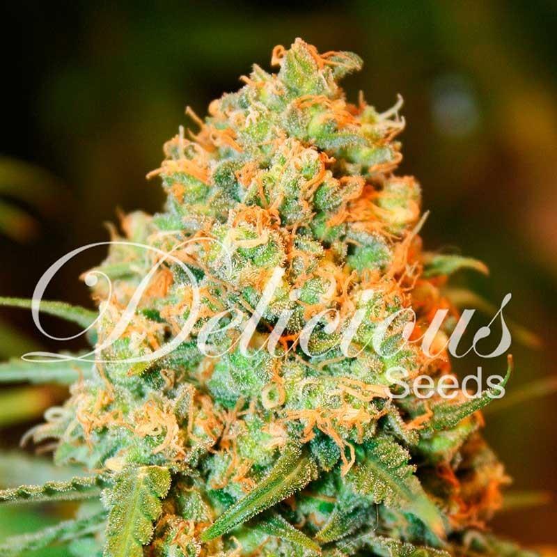Semilla Critical Super Silver Haze de Delicious Seeds Feminizada 100% Cannabis 1