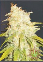 Critical Yumbolt (Delicious Seeds) 0