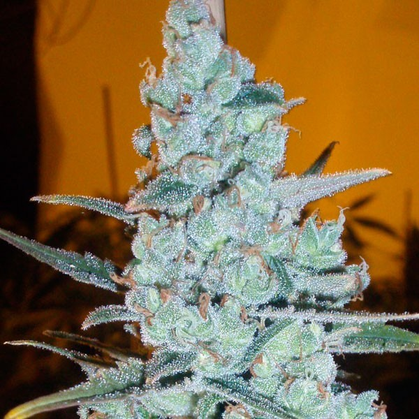 Critical Jack Herer (Delicious Seeds) 0