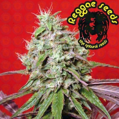 Dancehall (Reggae Seeds) Semilla Regular Marihuana 0