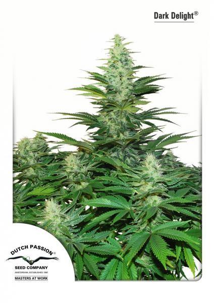Semilla Cannabis Dark Delight (Dutch Passion) Barata 1
