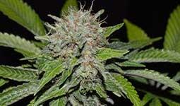 DEEP MANDARINE (cbd) Delicious Seeds 0