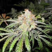 Deep Neville Regular (Medical Seeds) Semilla Regular Cannabis 0