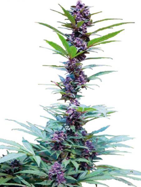 DeluxeMix (Cannabiogen Seeds)   Un conjunto único para preservar y mantener las genéticas, que ofrece al mismo tiempo infinitas posibilidades de hibridaciones entre los distintos fenotipos de estos sementales (HEMBRAS y VARONES):  Tipo: Mix Floración Int: 1