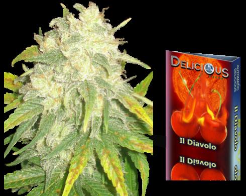 IL Diavolo Semilla Autofloreciente Feminizada de Delicious Seeds IL Diavolo Autofloreciente (Delicious Seeds) Este cruce Critical + y Rudelaris pretende ofrecerte los grandes rendimientos de, potencia y sabor típicos de la Critical+ en modalidad autoflore 1