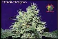 Dutch Dragon Feminizada 0