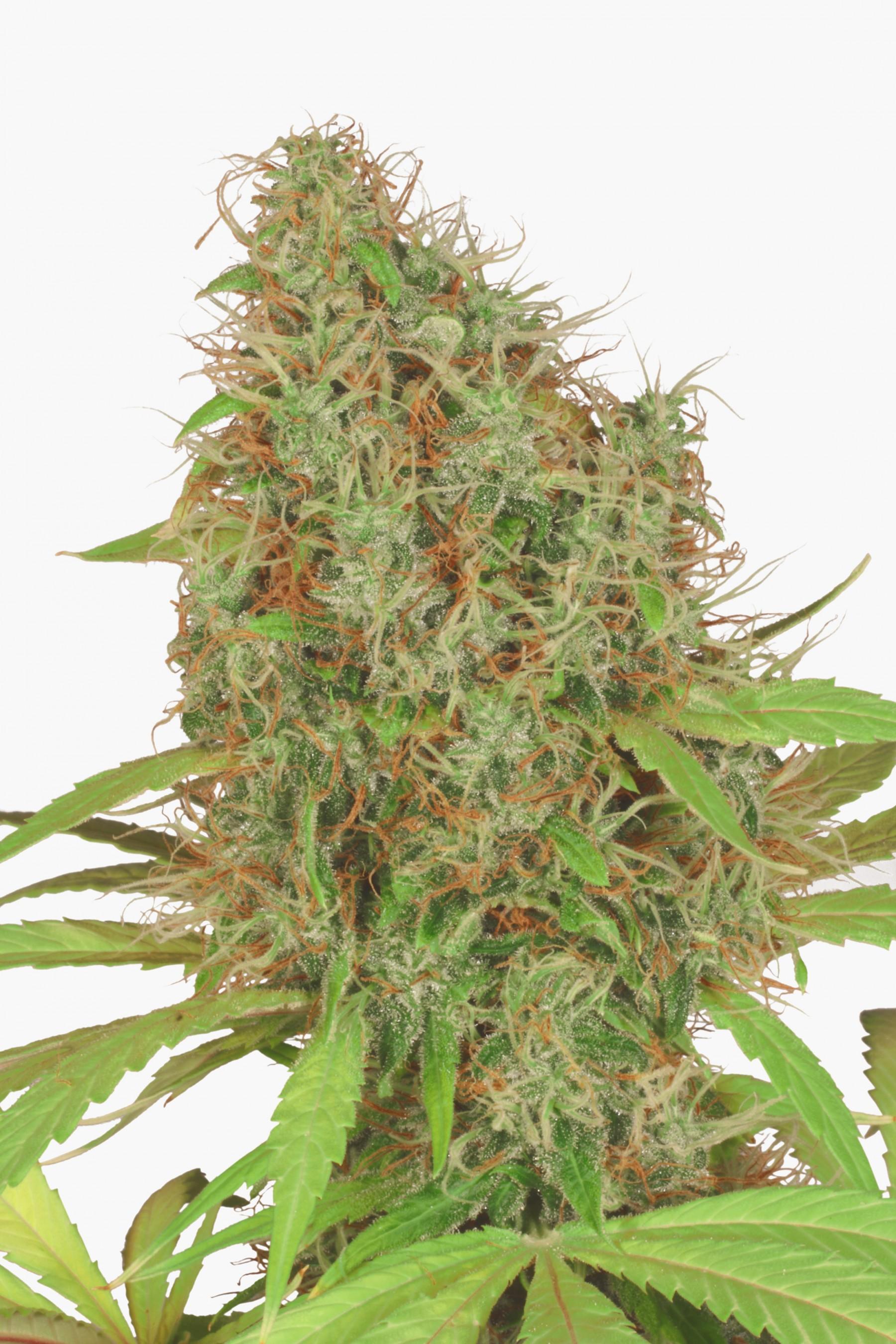 Dutch Haze (Dutch Passion Seeds) 1