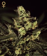 Exodus Cheese (Greeen House) Semilla Cannabis 100% Feminizada 0