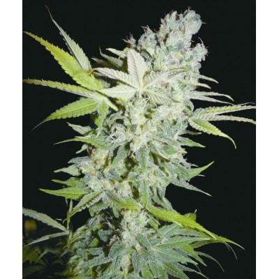 Criminal Jack Feminizada (Biohazard Seeds) 4