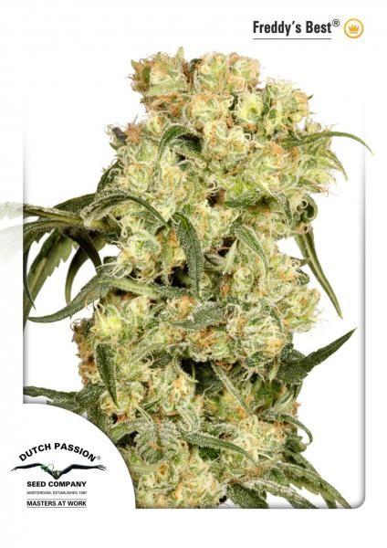 Freddy's Best (Dutch Passion) Semilla Feminizada marihuana 1
