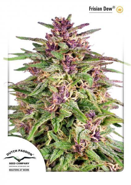 Frisian Dew (Dutch Passion) Semilla feminizada Cannabis-Marihuana 1