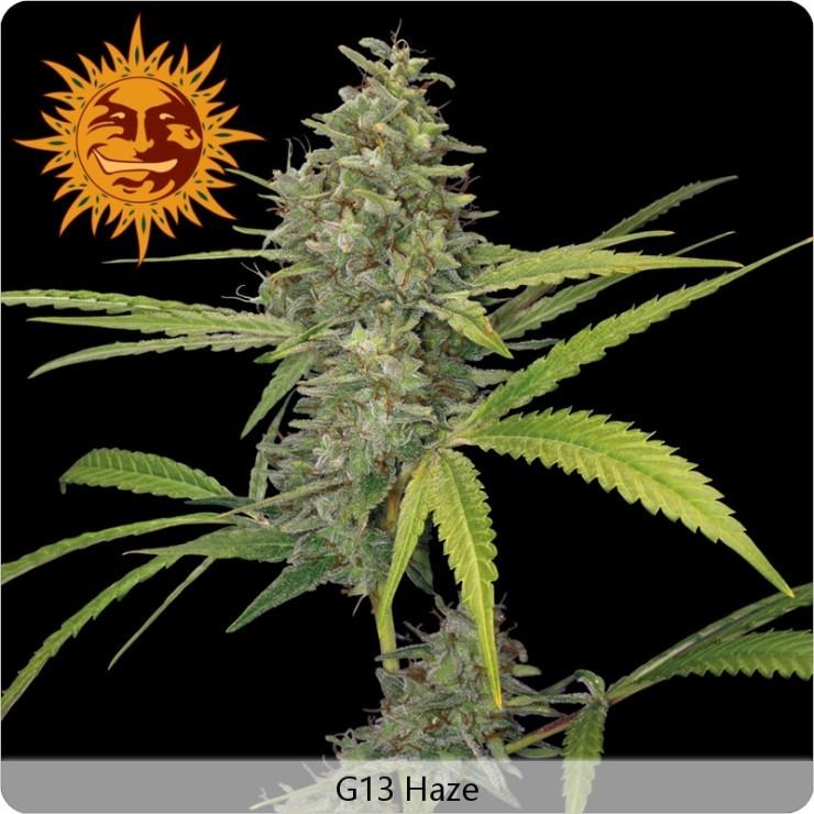 G13 Haze (Barney´s Farm Seeds) 0