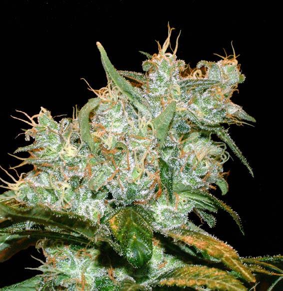 Goxuak Auto (Genehtik Seeds) Semilla Autofloración feminizada Cannabis 1