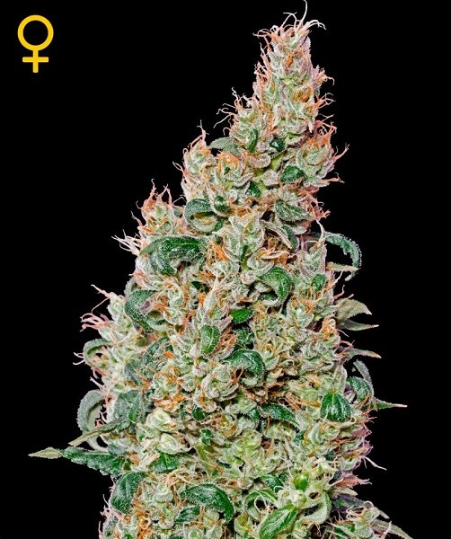 Green-o-matic Auto (Green House Seeds) Semilla Autofloreciente Feminizada Cannabis-Marihuana 1
