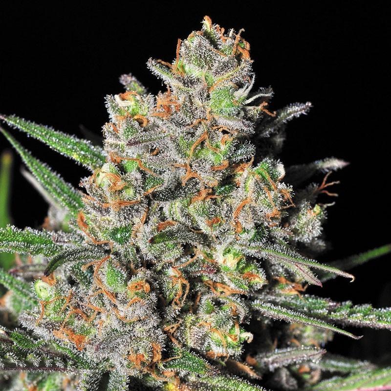 Green Love Potion (Samsara Seeds) Semilla Cannabis Feminizada 2