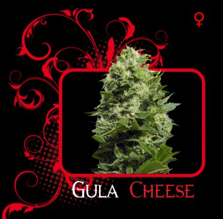 Semilla feminizada Gula Cheese (7 Pekados) 0