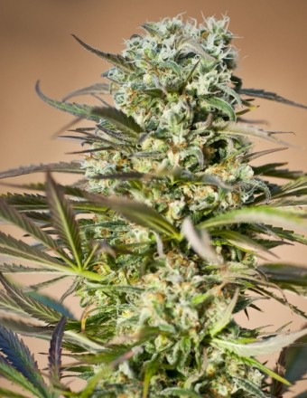Coleccionista 1 (Ripper Seeds) 6 Semillas Feminizadas de Cannabis 0