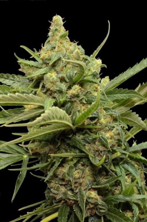 Haze Gom Automatic (Grass-o-Matic) Semilla Feminizada Autofloreciente Cannabis 2