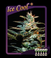 Ice Cool (Sweet Seeds) Feminizada 0