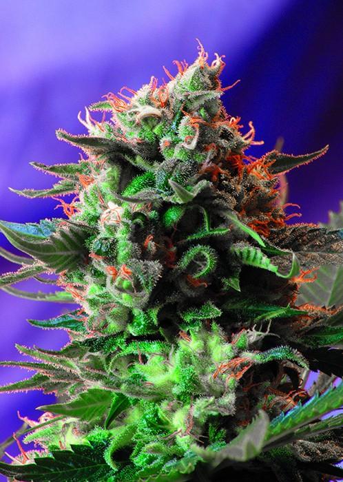 Jack 47 (Sweet Seeds) Feminizada 1