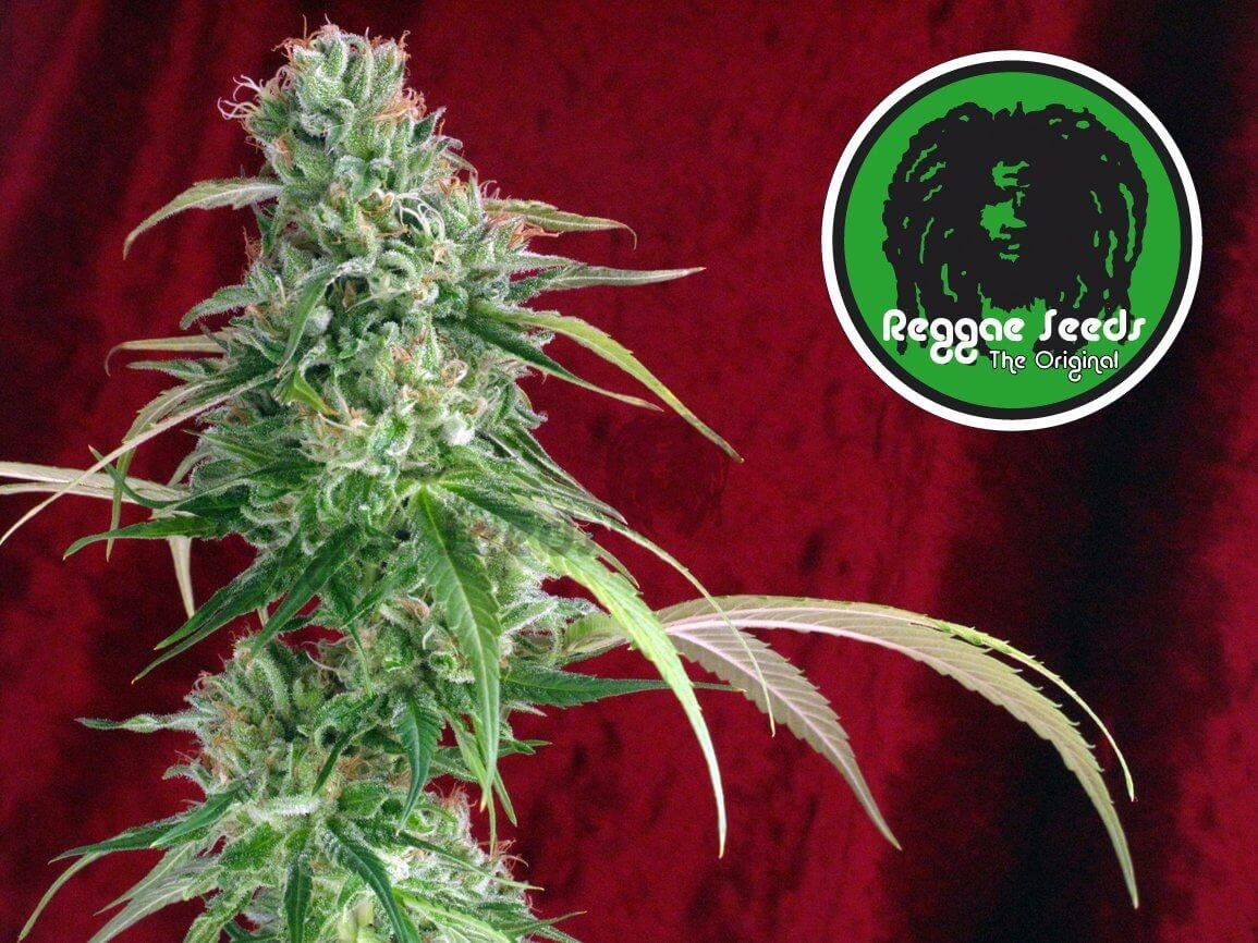 Semilla Juanita la Lagrimosa (Reggae Seeds) Barata 2