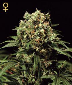 Kalashnikova Auto (Green House Seeds) Semillas de Cannabis Autoflorecientes 0