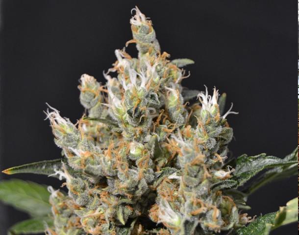 Semilla Kali Feminizada (CBD Seeds) de Marihuana 0