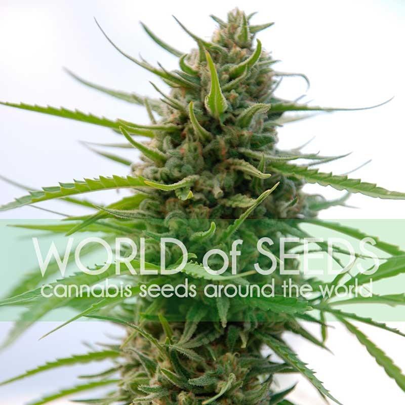 Kilimanjaro (World of Seeds) Feminizada 0