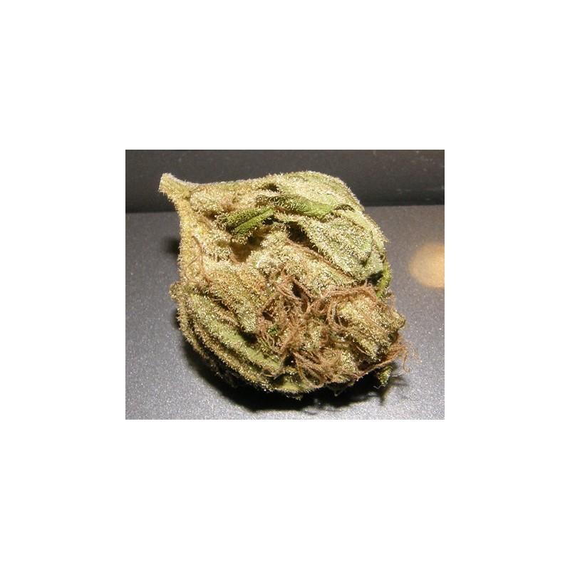 King Kong (Dr. Underground Seeds) Semilla Feminizada Cannabis - Marihuana 2