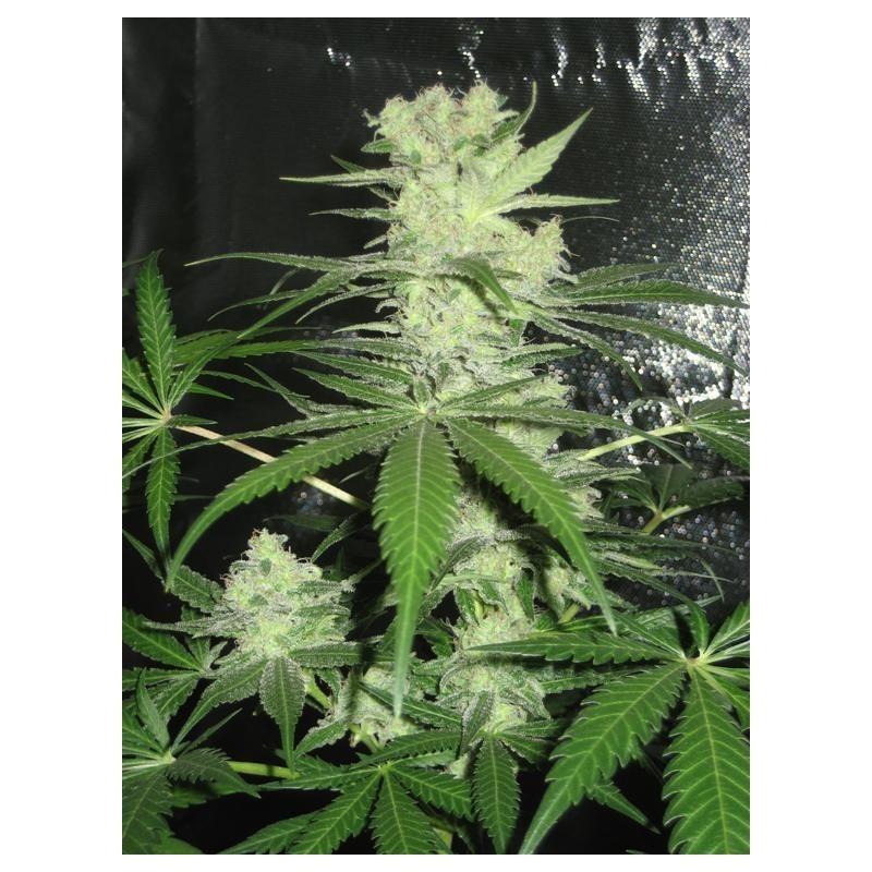 King Kong (Dr. Underground Seeds) Semilla Feminizada Cannabis - Marihuana 3