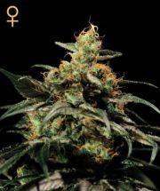 King's Kush (Greeen House Seeds) Semilla  0