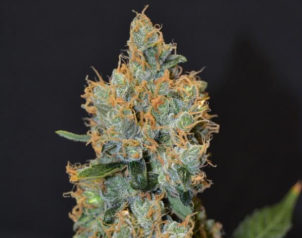 Lavender Feminizada (CBD Seeds) 0