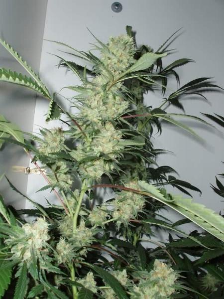 Leshaze Regular (Cannabiogen Seeds)  2