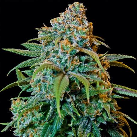 Liberty Haze (Barney´s Farm Seeds) Semilla Feminizada 1