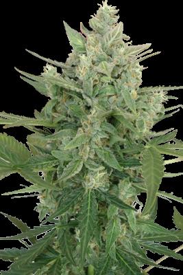 Low Dwarf Automática de SeedMakers Semilla Feminizada Marihuana Barata 0