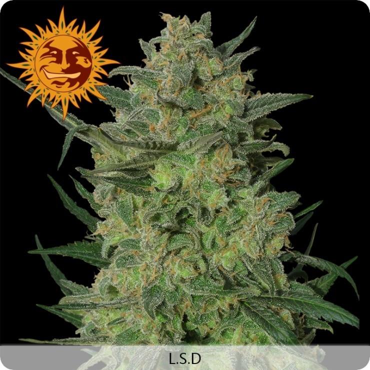 LSD (Barney´s Farm Seeds) 1