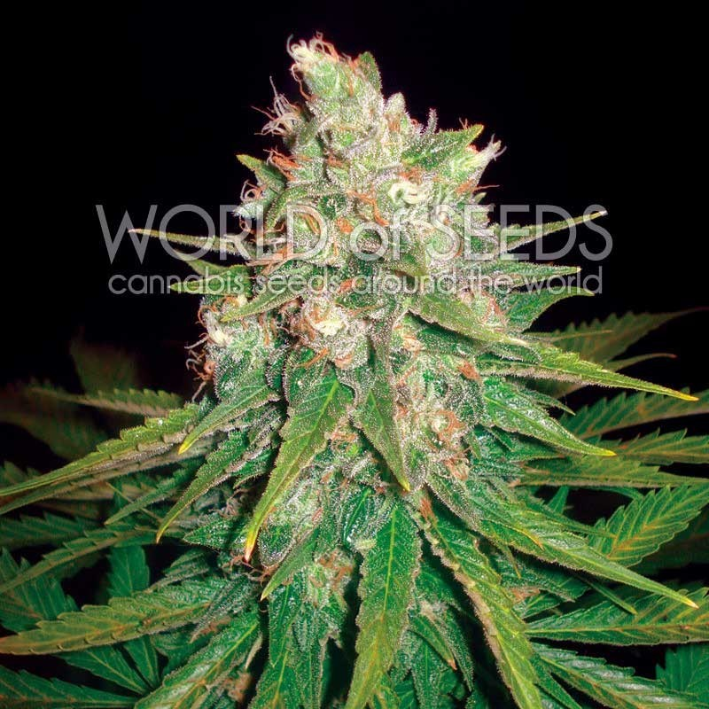 MAZAR X GREAT WHITE SHARK (WORLD OF SEEDS) MEDICAL COLLECTION 1