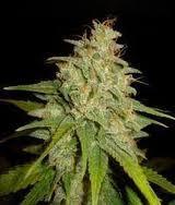 Mazar x White Rhino (World of Seeds) Semilla Cannabis Feminizados Medical Collection 0