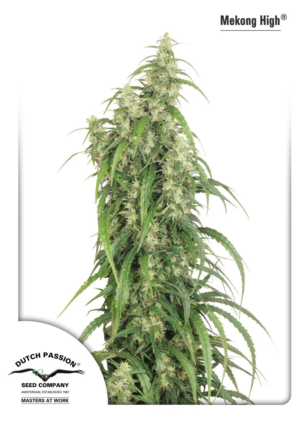 Mekong High (Dutch Passion Seeds) 1