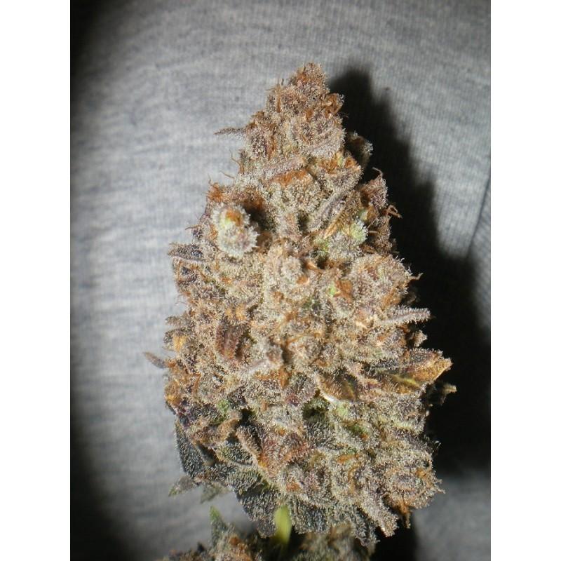 Melon Gum (Dr. Underground Seeds) 3