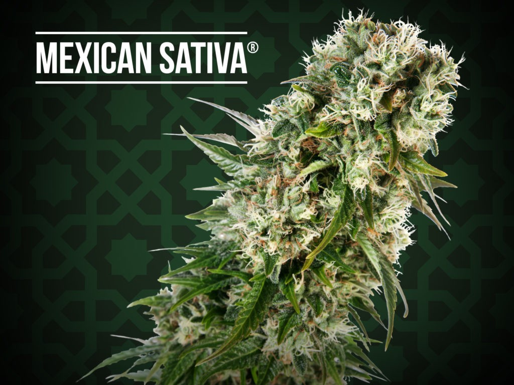 Mexican Sativa Regular (Sensi Seeds) 1