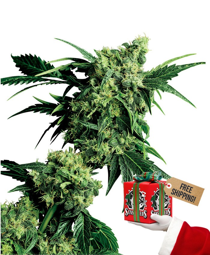 Mr. Nice G13 x Hash Plant (Sensi Seeds) Regular 1